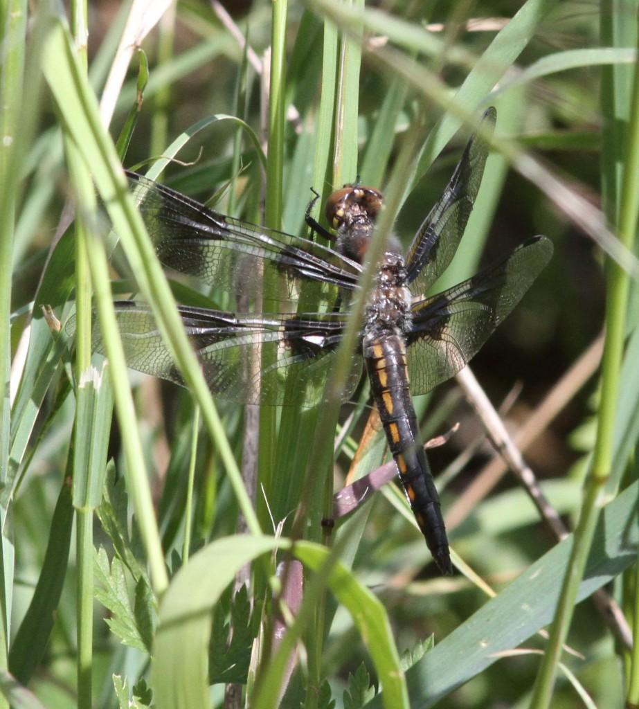 12-Spotted Skimmer - Libellula pulchella