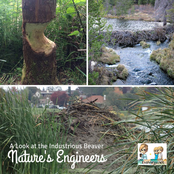 A Look at the Industrious Beaver: Nature's Engineers (A Middle School Unit Study) @EvaVarga.net