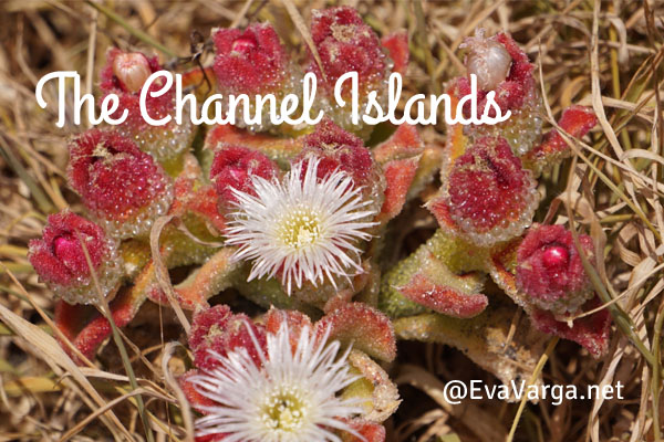 Channel Islands Succulent