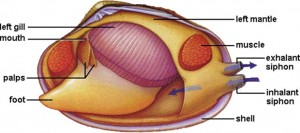 clam anatomy