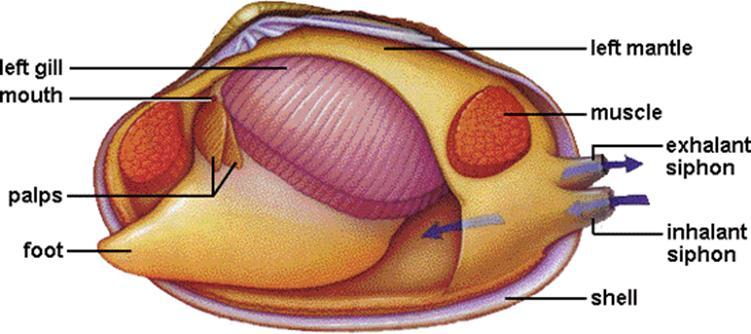 Stem Club  Echinoderms And Molluscs