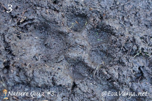 image of cougar track in mud with text nature quiz #3 @EvaVarga.net