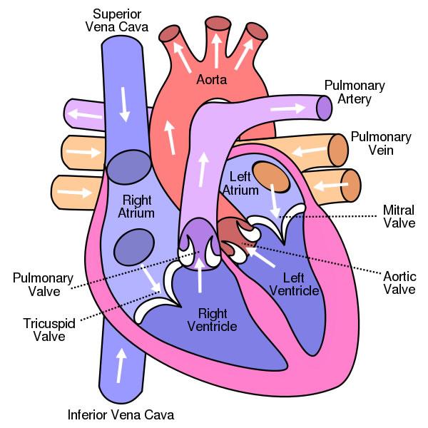diagramheart