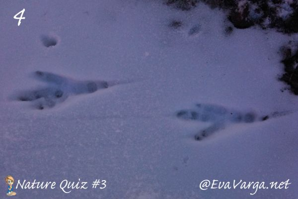 image of bird track in snow with text nature quiz #3 @evavarga.net
