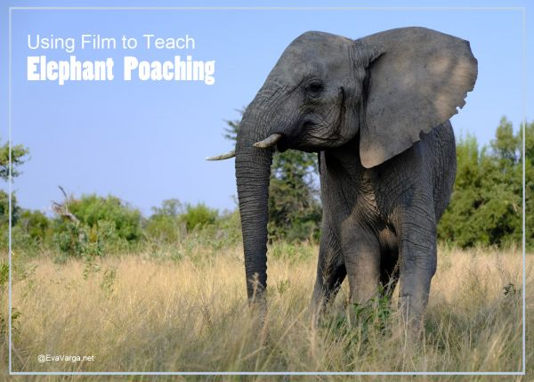 image of an adult African elephant on the savanna with text Using Film to Teach Animal Conservation: Elephant Poaching @EvaVarga.net