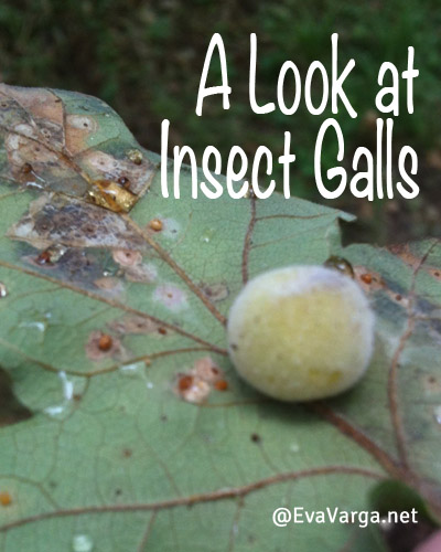 Insect Galls: A Nature Study @EvaVarga.net