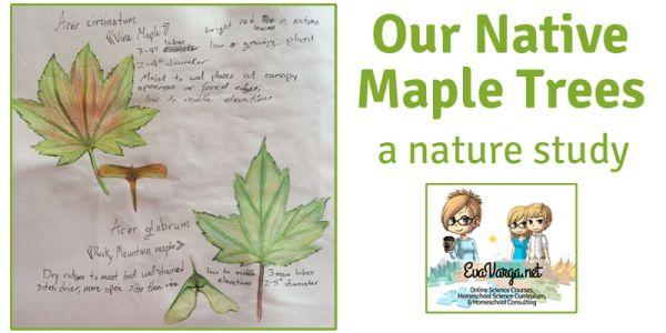 Our Native Maple Trees @EvaVarga.net