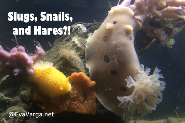 Sea Slugs, Snails, and Sea Hares @EvaVarga.net