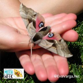 Ever Been to a Moth Night? @EvaVarga.net