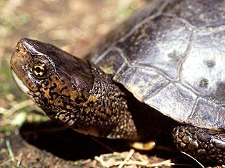 pond_turtle