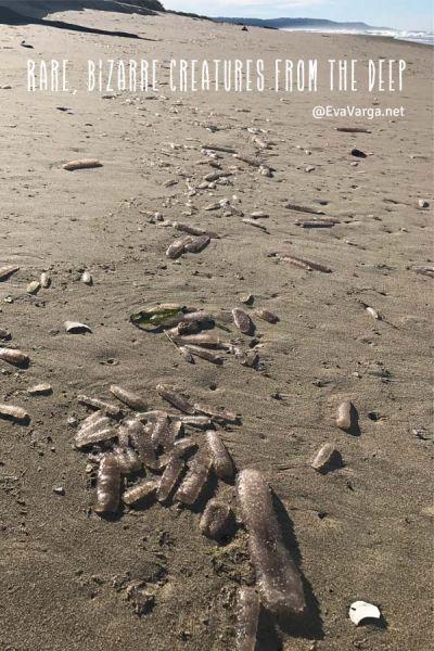 tunicates rare creatures