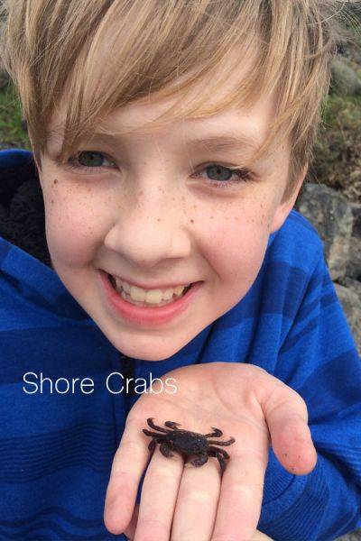 Young boy holding a purple shore crab with text A Guided Tide Pool Hike with a Master Naturalist @EvaVarga.net