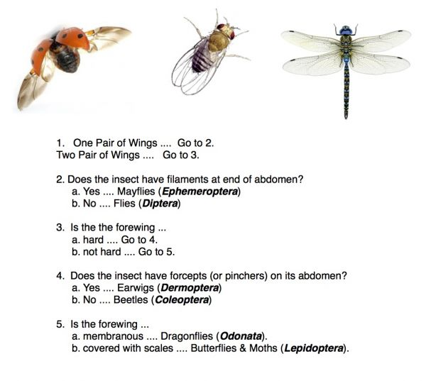 Insect Dichotomous Key Worksheet Delibertad – Dichotomous Key Worksheet