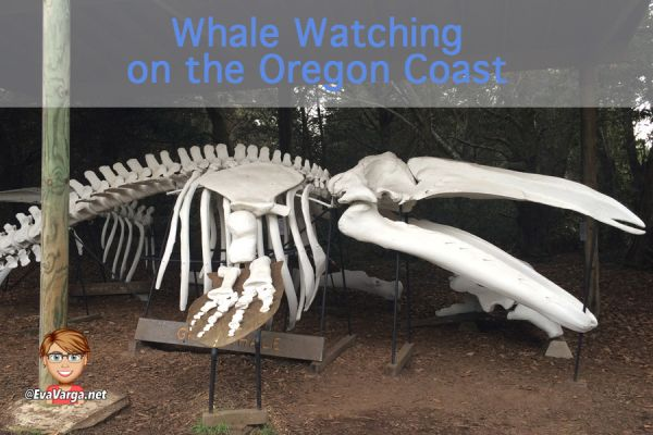 image of a gray whale skeleton