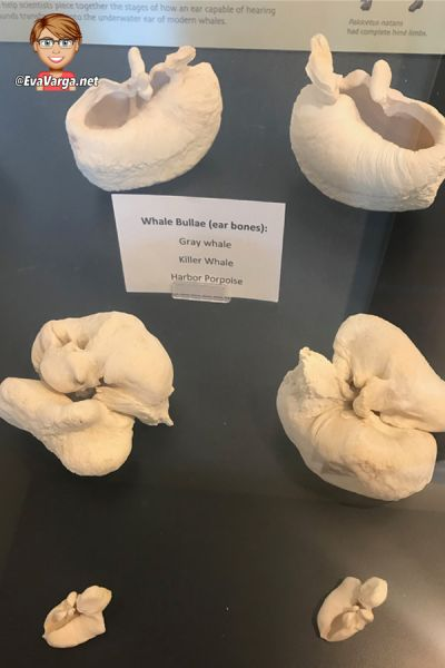 image of the inner ear bones of three whales