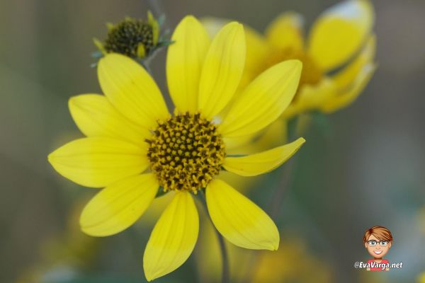 image of a yellow daisy wildflower